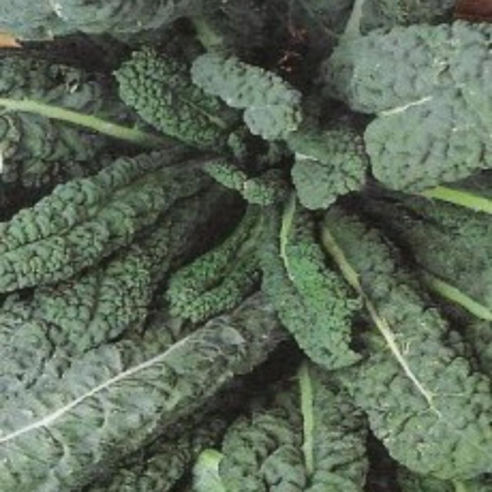 Kale - Borecole - Black Tuscany seeds