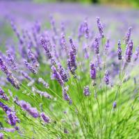 Lavender Vera - Lavendula seeds
