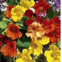 Nasturtium Tall Single Flowered Mixed seeds