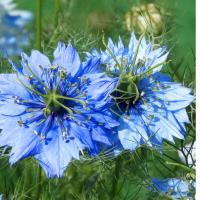 Nigella Miss Jekyll Annual Garden flower seeds