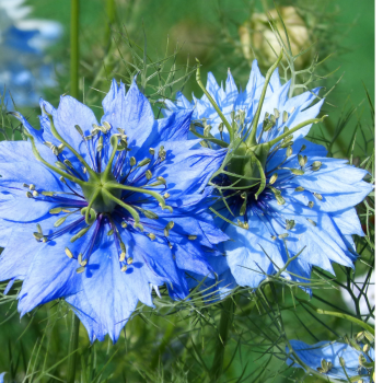 Nigella Miss Jekyll - Annual Garden flower  seeds