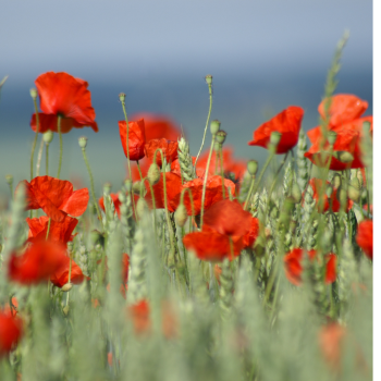 Papaver Corn Flanders field poppy seeds