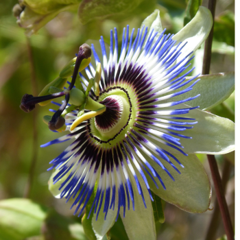 Passion Flower - Passiflora coerulea Seeds