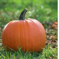 Pumpkin Jack O'Lantern Cucrbita Pepo seeds