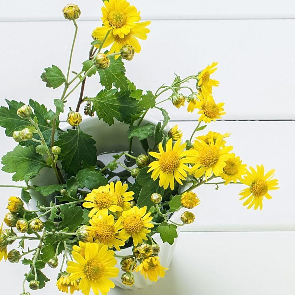 Corn Marigold - Chrysanthemum segetum seeds