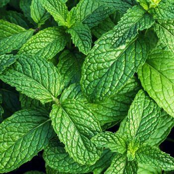 Mint Green Herb Seeds