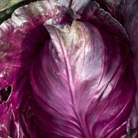 Cabbage Kalibos seeds - Red Cabbage