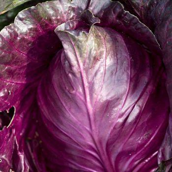 Cabbage Kalibos seeds - Red Cabbage