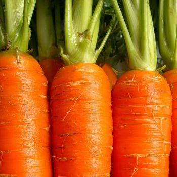 Carrot Darina seeds