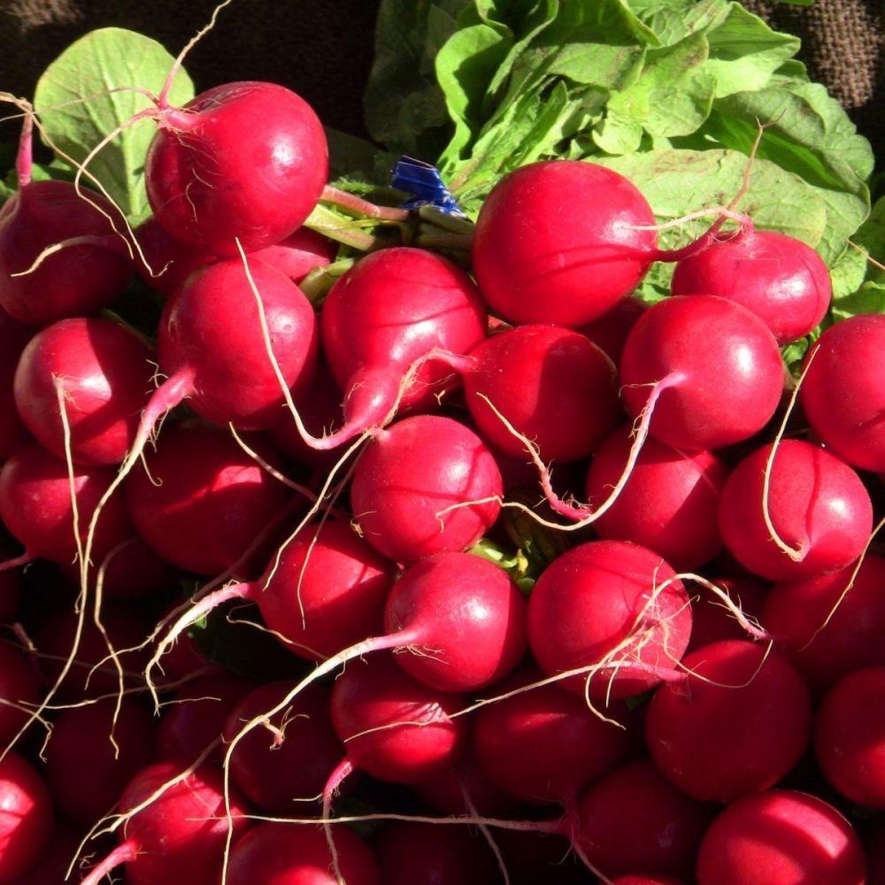 Radish Scarlet Globe seeds