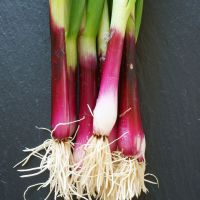 Spring Onion North Holland Bloodred Redmate Seeds