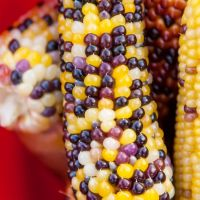 Sweetcorn Ornamental Fiesta seeds
