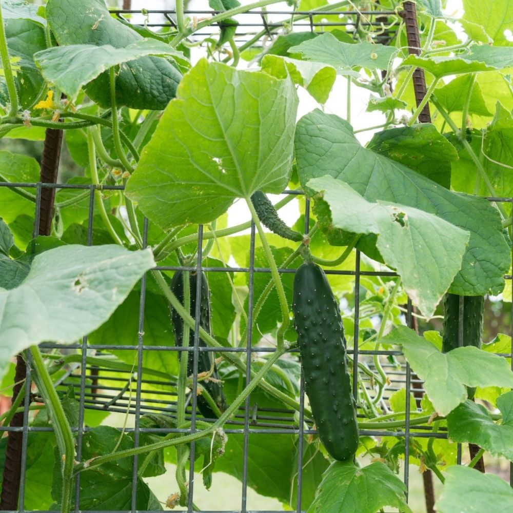 Cucumber Long Green Ridge seeds