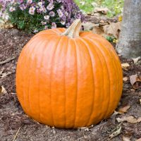 Pumpkin F1 Magic Lantern seeds