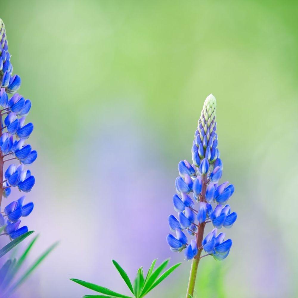 Green Manure Blue Lupin seeds