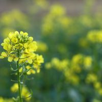 Green Manure Spring Mix seeds