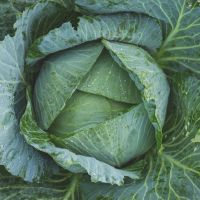 Cabbage Golden Acre Earliest of All Seeds