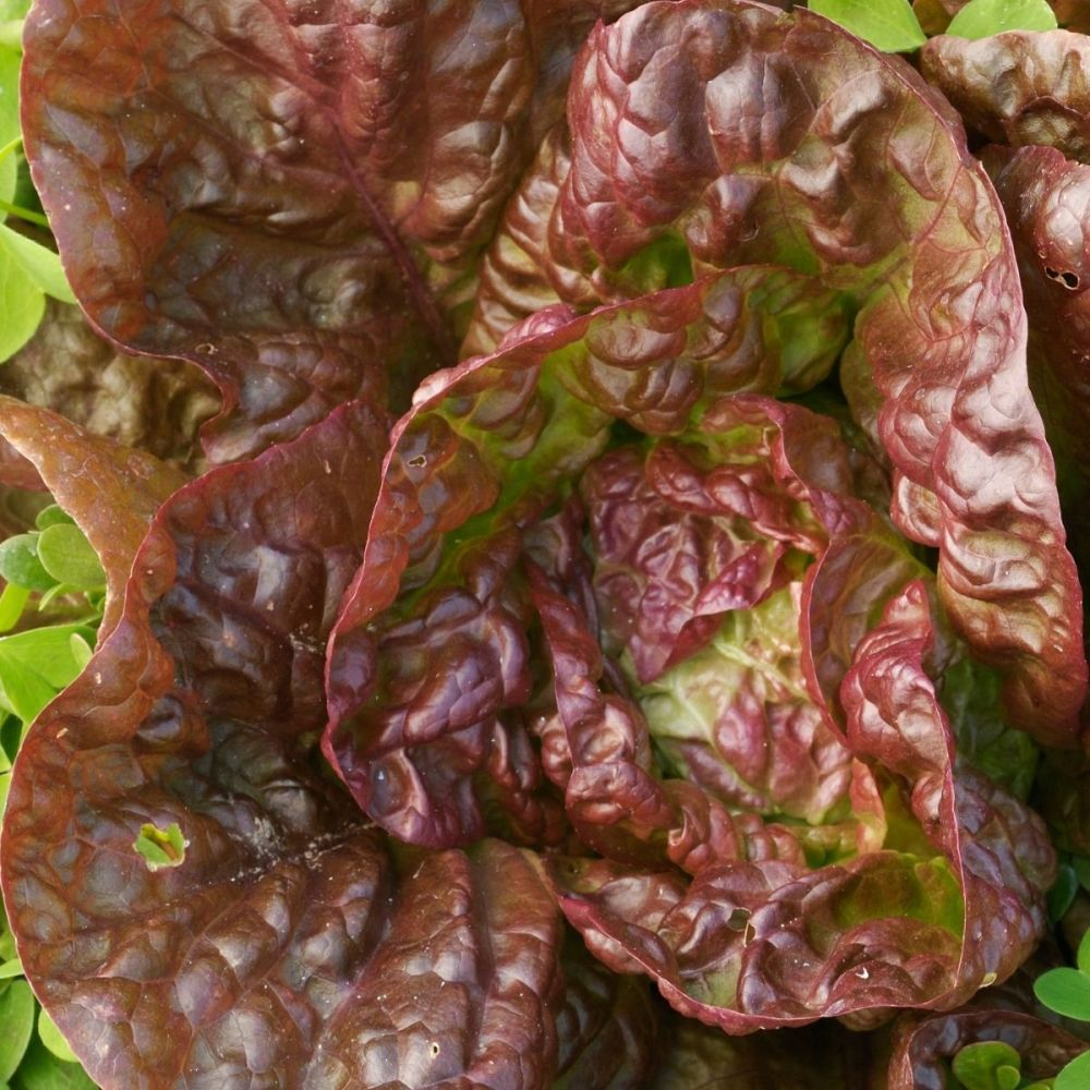 Lettuce Marvel of four seasons