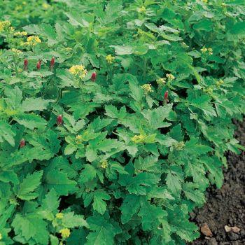 Green Manure Winter Mix seeds