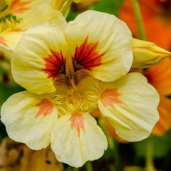 Nasturtium Peach Melba Seeds