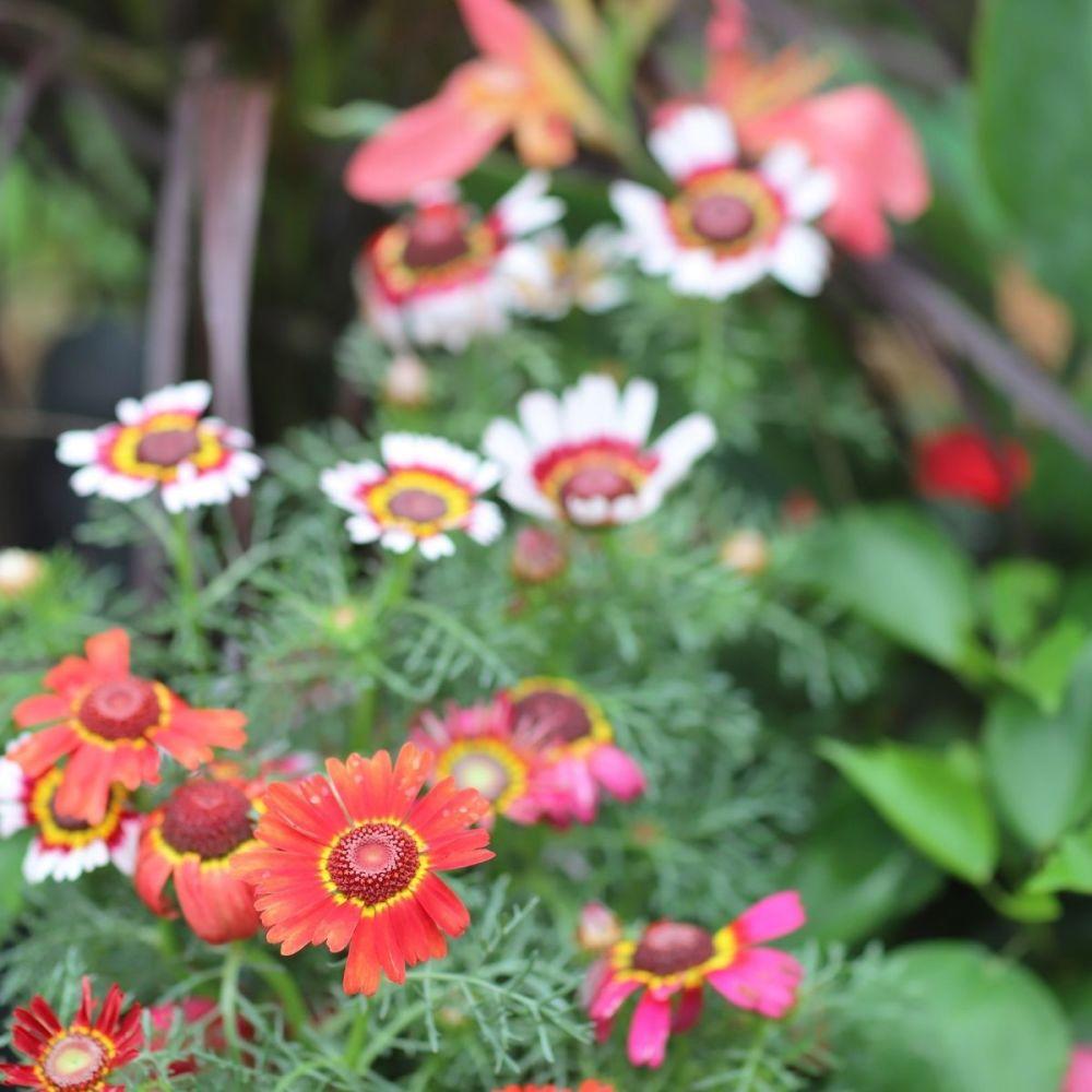 Chrysanthemum Merry Mixed seeds