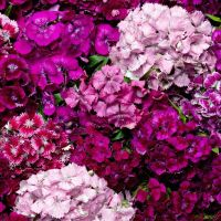 Sweet William F2 Spinner mixed seeds