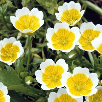 Poached Egg plant - Limnanthes douglasii Seeds