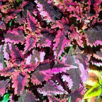 Coleus Black Dragon Seeds