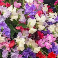 Sweet Pea Royal Family mixed Seeds