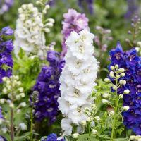 Delphinium Magic Fountain Mixed Seeds