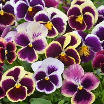 Pansy Swiss Giants Mixed Seeds