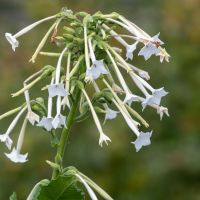 Nicotiana White Trumpets seeds