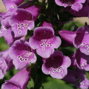 Foxglove Wild Digitalis purpurea  seeds