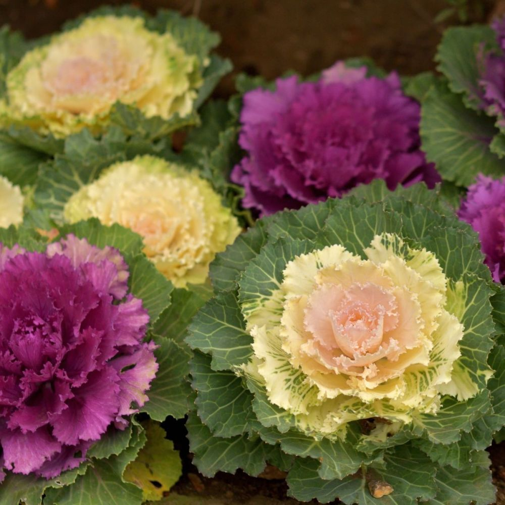 Ornamental Brassica F1 Nagoya Mixed Seeds