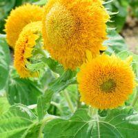 Sunflower Teddy Bear Seeds