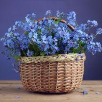 Forget Me Not Myosotis Blue Basket Seeds