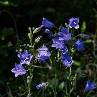 Campanula Persicifolia Blue Seeds