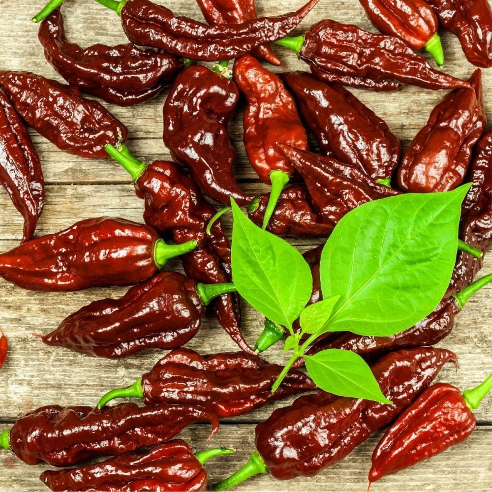 Chilli Pepper Bhut Jolokia Chocolate Seeds