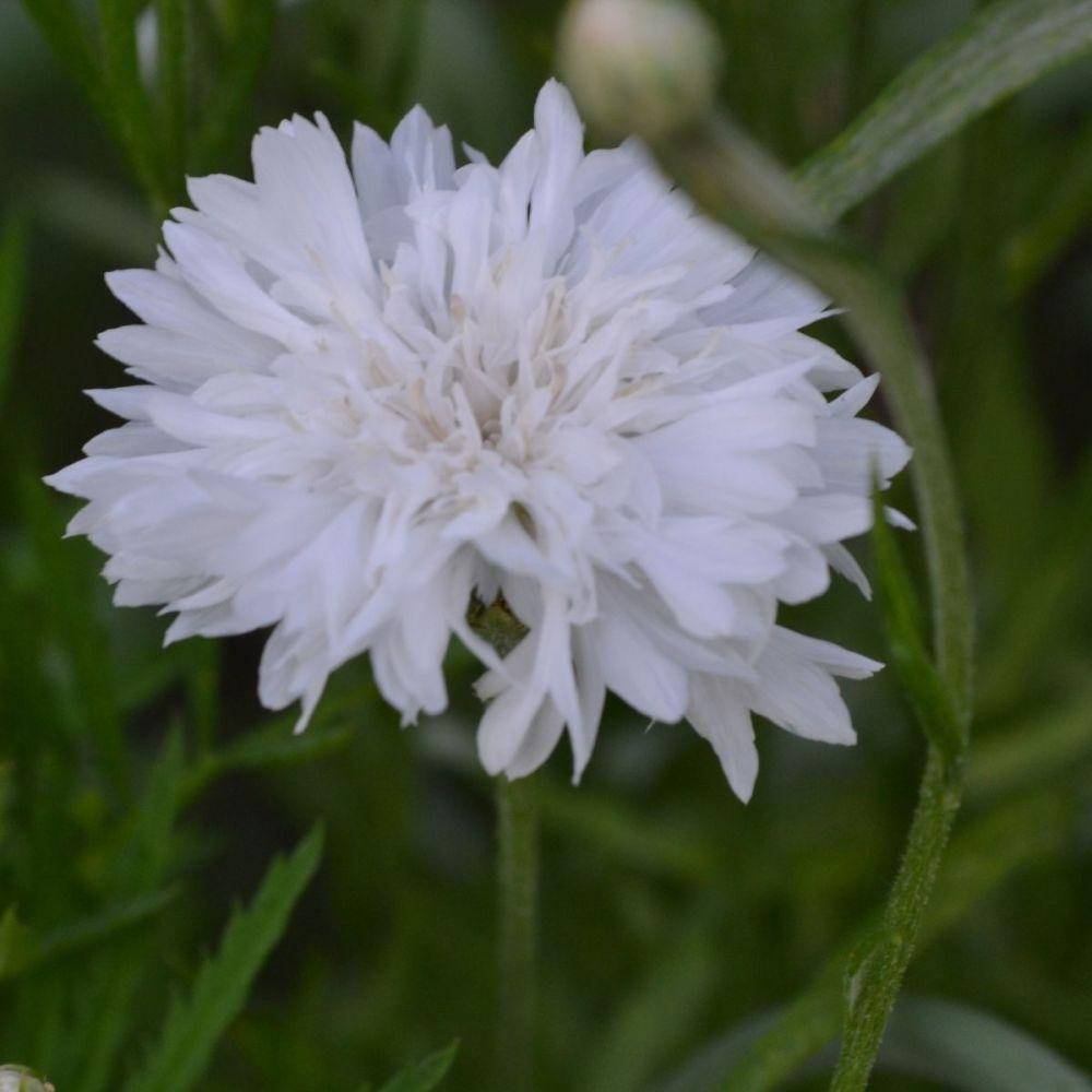 Cornflower Snowman Seeds