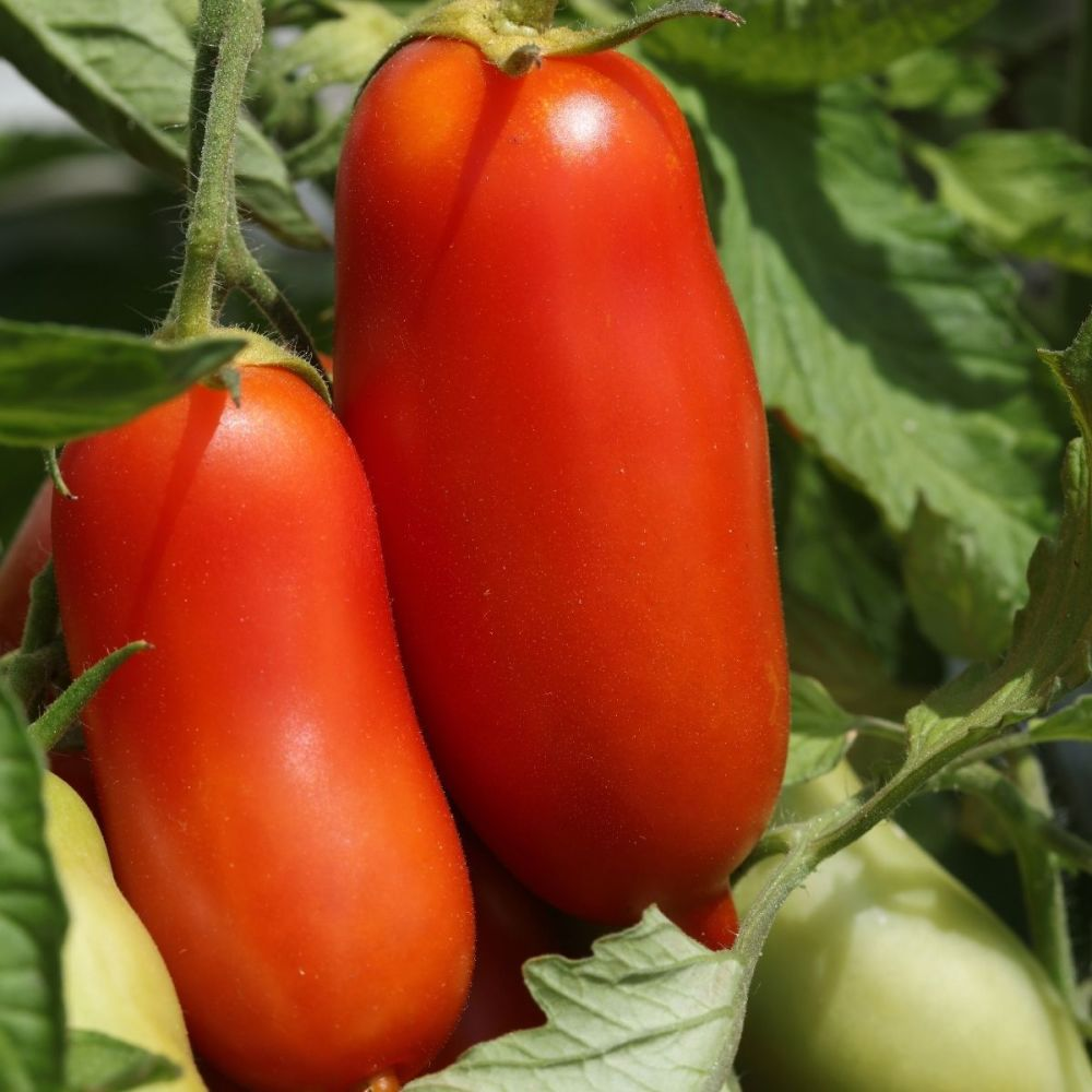 Tomato San Marzano seeds
