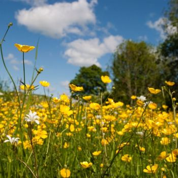 Meadow Buttercup Seeds