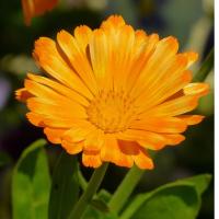 marigold pot marigold