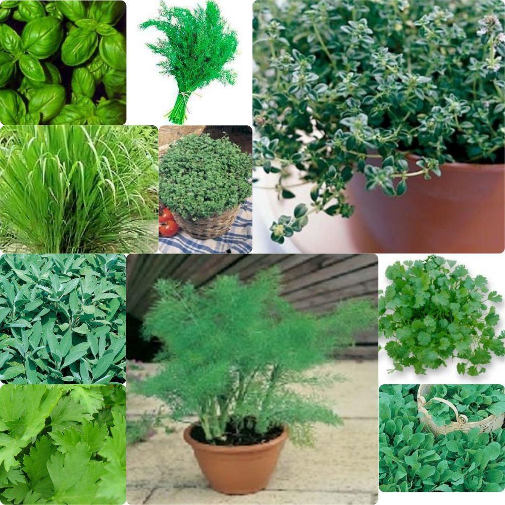 10 pack Herb seeds - Basil, fennel, dill, lemon grass etc