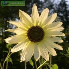 Sunflower - Vanilla Ice - 25 seeds
