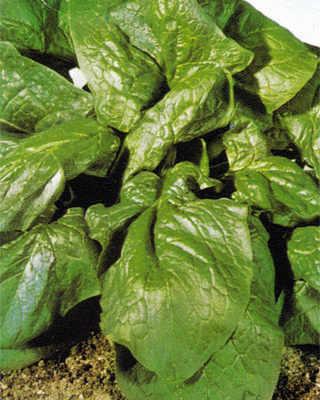 Spinach - Matador - 250 seeds