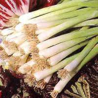 Onion Winter Over seeds