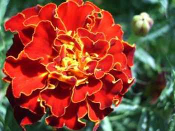 Marigold Dwarf French - Brocade Mix seeds