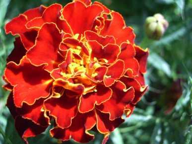 Marigold Dwarf French - Brocade Mix - 60 seeds