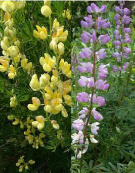 Lupin - Arboreus Mixed (Tree Lupin) Seeds