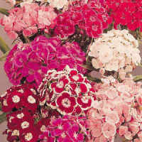 Sweet William Auricula Eyed Large Flowered Mixed Seeds